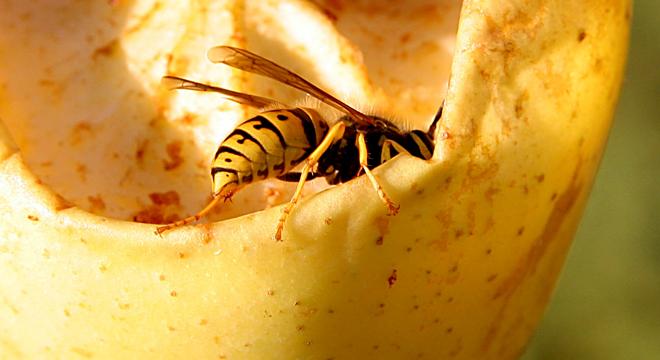 Insektengiftallergie: am häufigsten durch Bienen- oder Wespengift