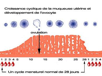 ovulation pour un cycle de 28 jours